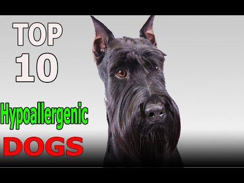 Top 10 Hypoallergenic Dog Breeds | Top 10 animals