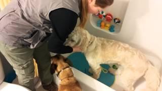 Goldie Bath Time Desensitization With K9 180