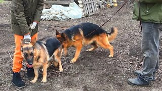 Скоро щенки!🐕🦺🐕🦺 Немецкие овчарки Хоган и Норма. Одесса.