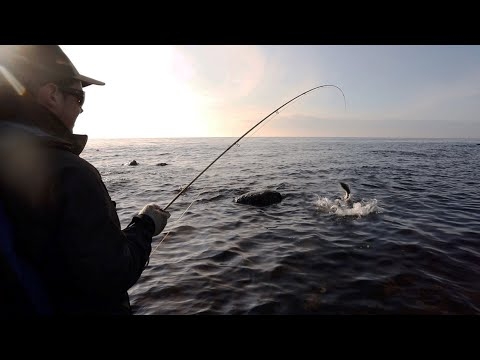 Fly Fishing Sea Trout - The Perfect Spring Day. Fish Is Crushing The Flies In Calm Weather