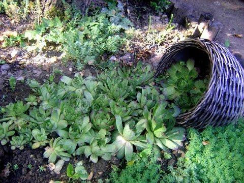 Неприхотливое комнатное растение ОЧИТОК МОРГАНА или СЕДУМ. Простые правила ухода