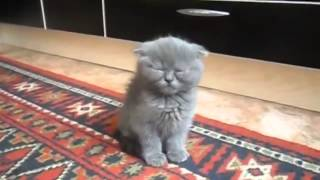 КОТЕНОК СПИТ СТОЯ ПРИКОЛ ! YouTube 720p