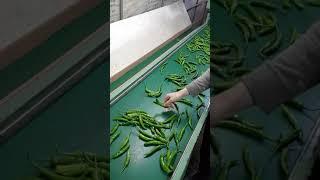 청양고추 양액재배  고추선별