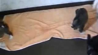 幸福を招く犬と云われている珍犬チベタン、テリアの 生後60日目の可愛い...