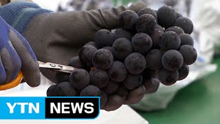 Grapes become 1st S.Korean-grown fruit to be exported to China / YTN