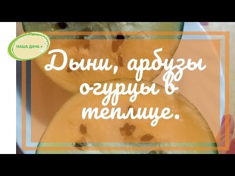 Дыни, арбузы, огурцы в теплице. Матвеева Оксана