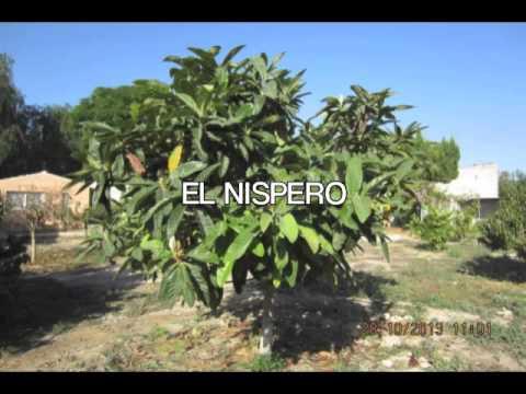 los arboles perennes mediterraneo youtube