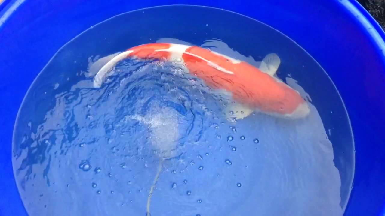 65cm kohaku having a salt bath youtube