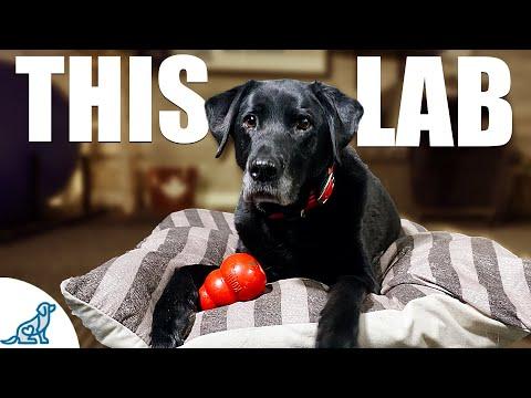 10 Lessons A Labrador Retriever Taught Me About Dog Training