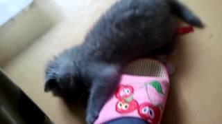 британский котенок)