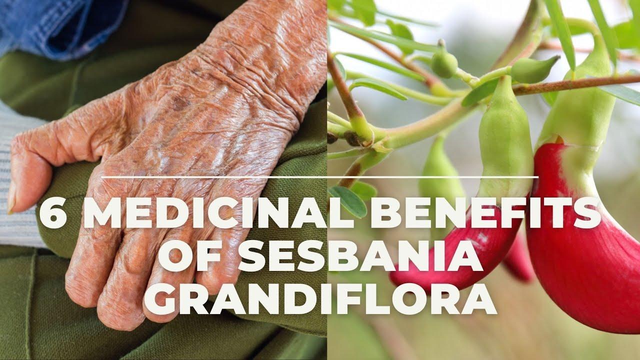 6 effective medicinal benefits of sesbania grandiflora #healthnews  #healthinfo