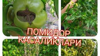 Pomidor Kasalliklari Haqida