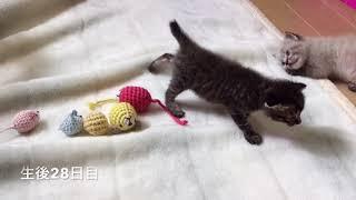 捨てられていた子猫の保護記録10生後25〜31日目・Abandoned Newborn Kittens