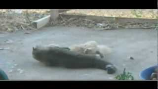 Extreme Cat Fight / Amazing cat fights