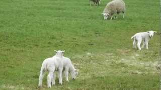 Spring is in the air - Little lambs jumping around and chasing each other (3)