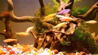 Zebrafish Care  - Zebra Danio Aquarium Set-up & Care Guide