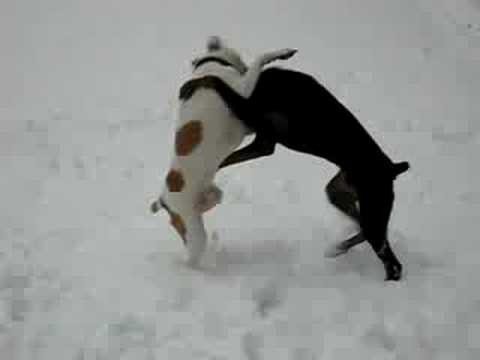 doberman vs pitbull - YouTube