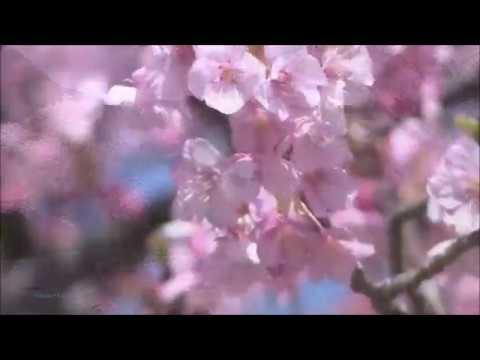 非常优美的大提琴曲《樱花 -...