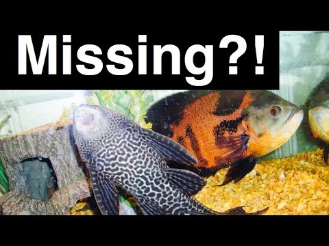 Pleco Ate My Fish? My Fish Are Gone