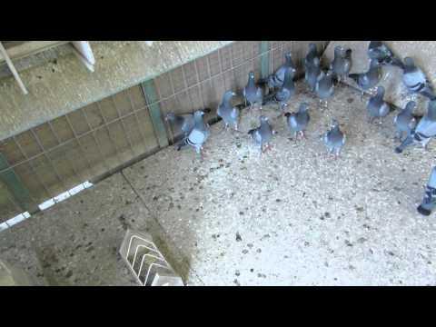 ПОРОДЫ ДОМАШНИХ ГОЛУБЕЙ Все о голубях