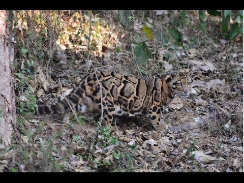 Talk: Habitat Use of the Mainland Clouded Leopard in Peninsular Malaysia