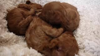 東京のブリーダー宅でトイプードルの子犬達が元気に成長中です。今日で...