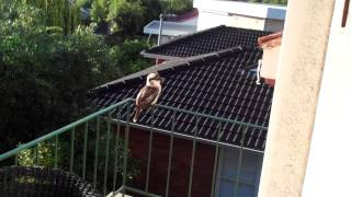 Kookaburra screaming