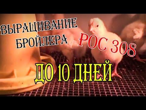 Выращивание Цыплят Бройлеров! Содержание, кормление ДО 10 ДНЕЙ!