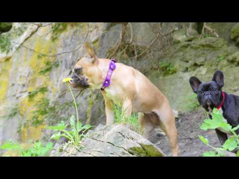 French Bulldogs Visit Holiday Destination Elora, Ontario, Canada!!