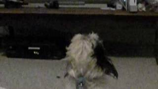 This is Riley, my 4 year old Shih-Tzu (pronounced sheed-zoo). He is...