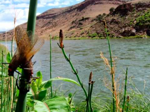 Fly fishing the salmon fly hatch on the gunnison river for Gunnison river fly fishing