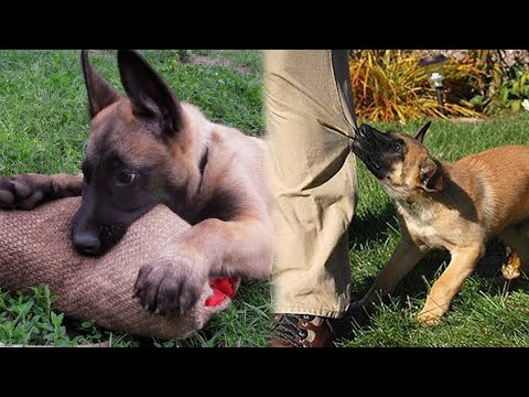 Belgian Malinois Puppies Are Not Normal!
