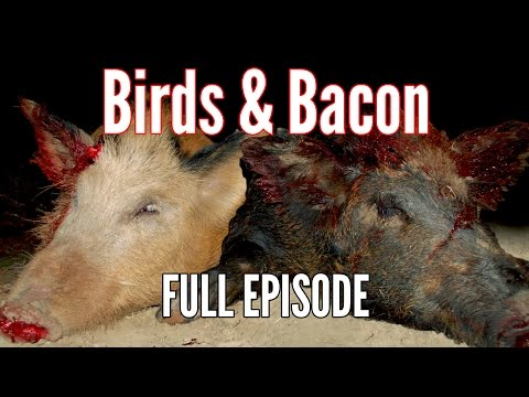 "Hog & Bird Hunting with Air Rifles - ""Birds and Bacon"""