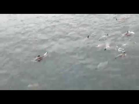 Dolphins In Lagos Lagoon