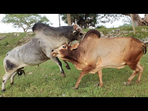Bulls fighting(part 2) most exciting highlighted video