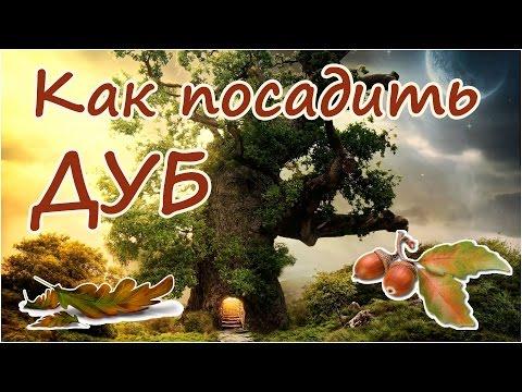 Как посадить из желудя дуб  - священное дерево - символ силы и могущества