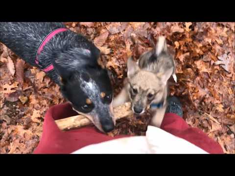 New Swedish Vallhund Puppy in the Family