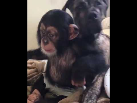 Baby chimpanzee is playing with a dog