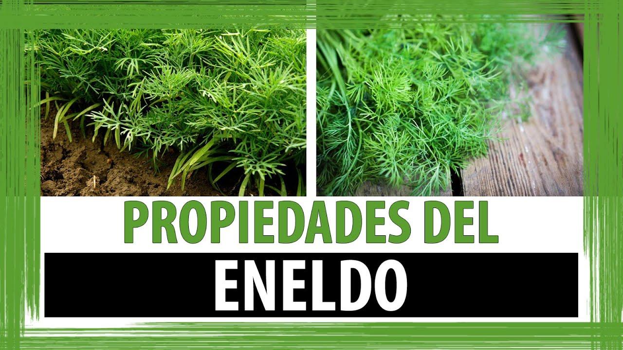 ENELDO PARA QUE SIRVE | PROPIEDADES DEL ENELDO - YouTube