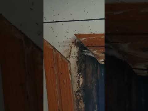 Denuncian la existencia de una plaga de hormigas en los Xulgados de Vilagarcía