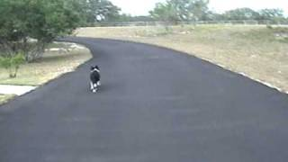 Intelligent Border Collie Puppy