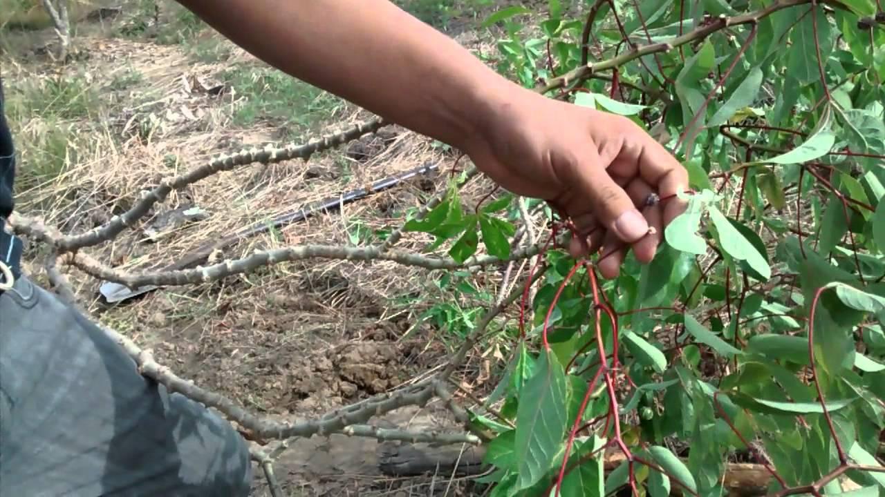semilla de yuca
