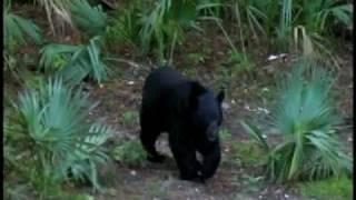 Living with Florida Black Bears
