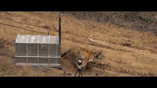 Выпуск тигрицы Филиппы в дикую природу/ Siberian tigress Filippa returned into the wild
