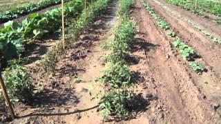 Vegetable Gardens 3, 4, & 5  June 1, 2011
