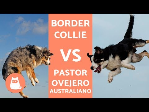 Border collie vs pastor australiano - DIFERENCIAS