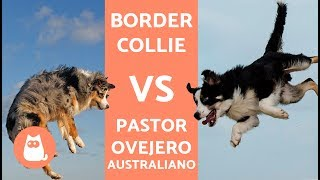 Border collie vs pastor australiano  DIFERENCIAS