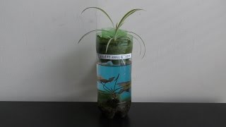 Growing Spider Plant on Top of Aquarium