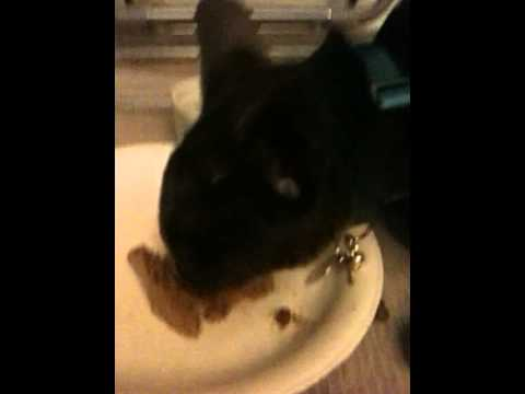 Blue the oriental shorthair talks while eating