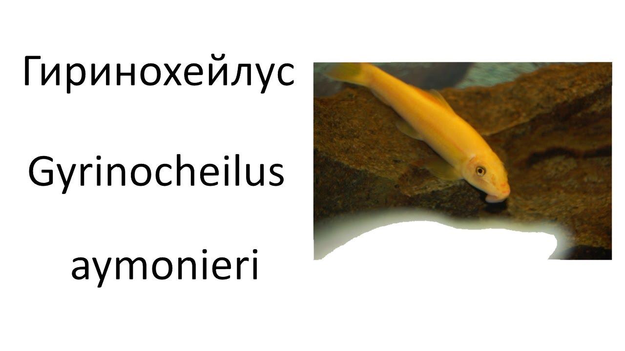 Гиринохейлус или китайский водорослеед (Gyrinocheilus aymonieri)